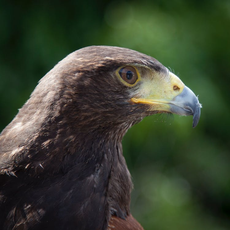 àguila, animal, fotografia d'animals