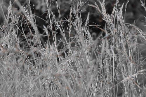 Immagine gratuita di bellissimo, bianco e nero, erba, erba secca