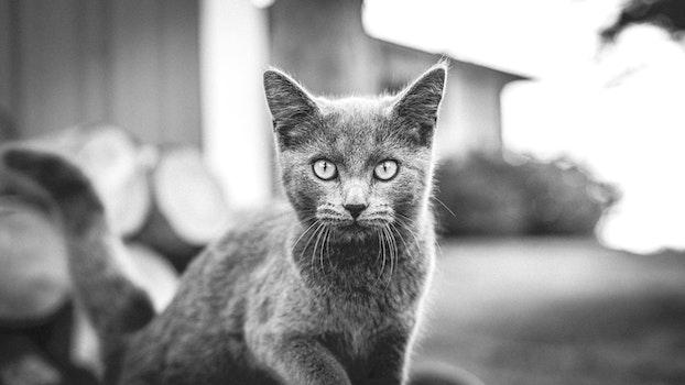 Free stock photo of black-and-white, animal, pet, cat