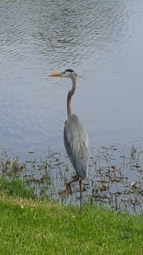 Free stock photo of big bird, blue heron