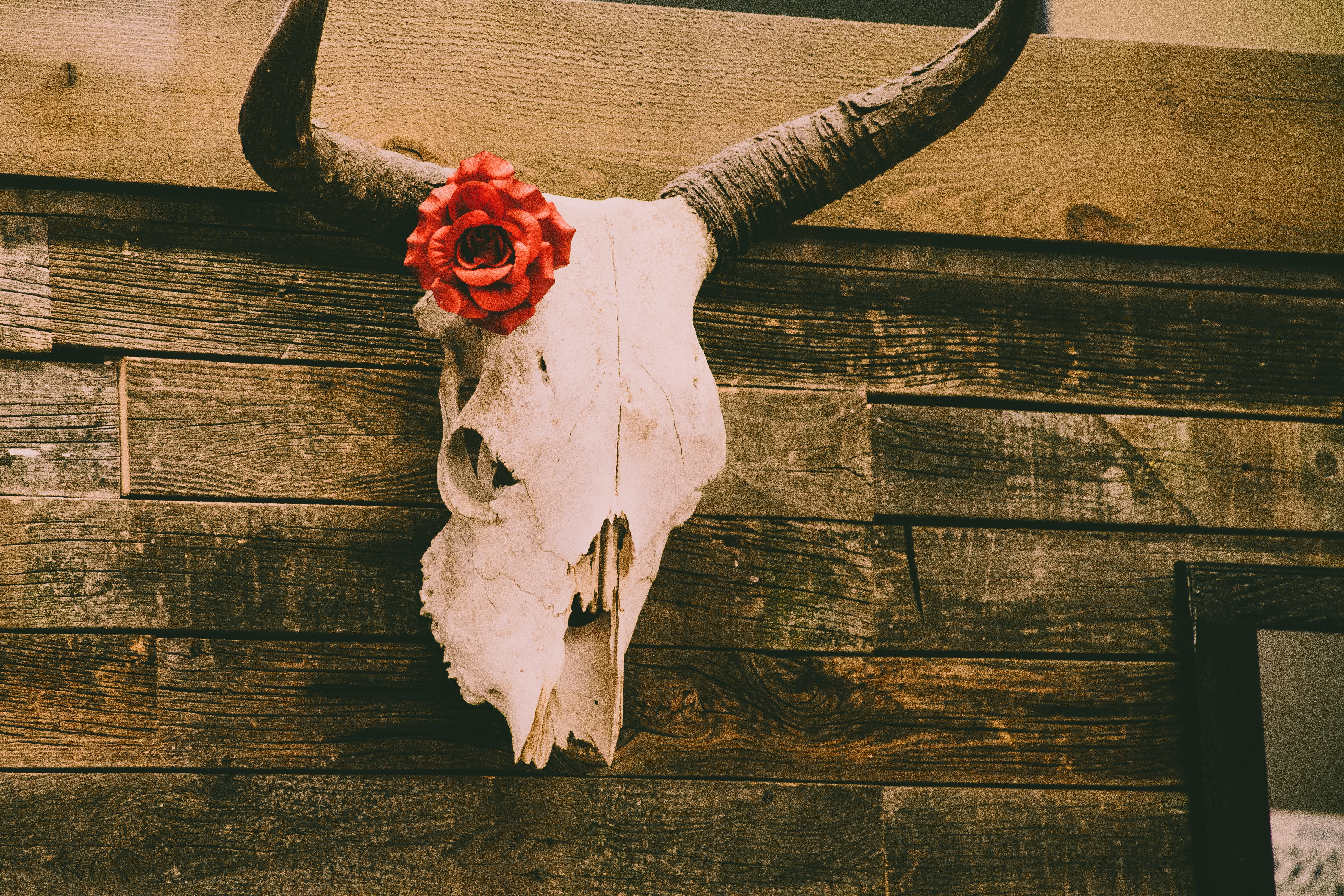 Animal Skull on Wall With Red Rose Decor