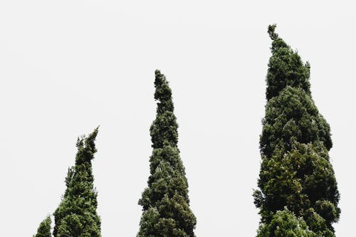 Worm's-eye View of Three Green Leafed Trees