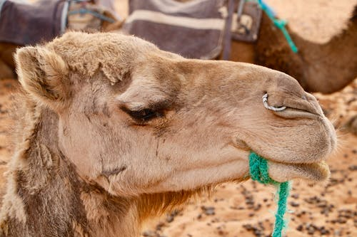 Free stock photo of camel, morocco