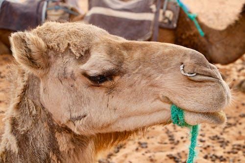 deve, Fas içeren Ücretsiz stok fotoğraf