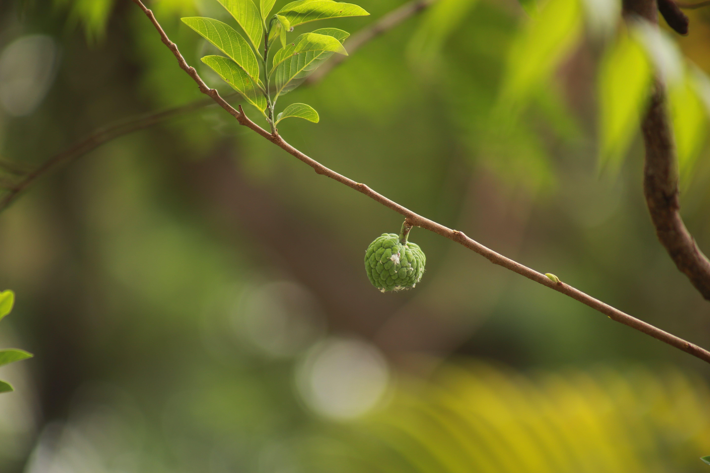 fruit, green, nature
