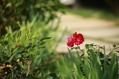Kostnadsfri bild av rosor, trädgård