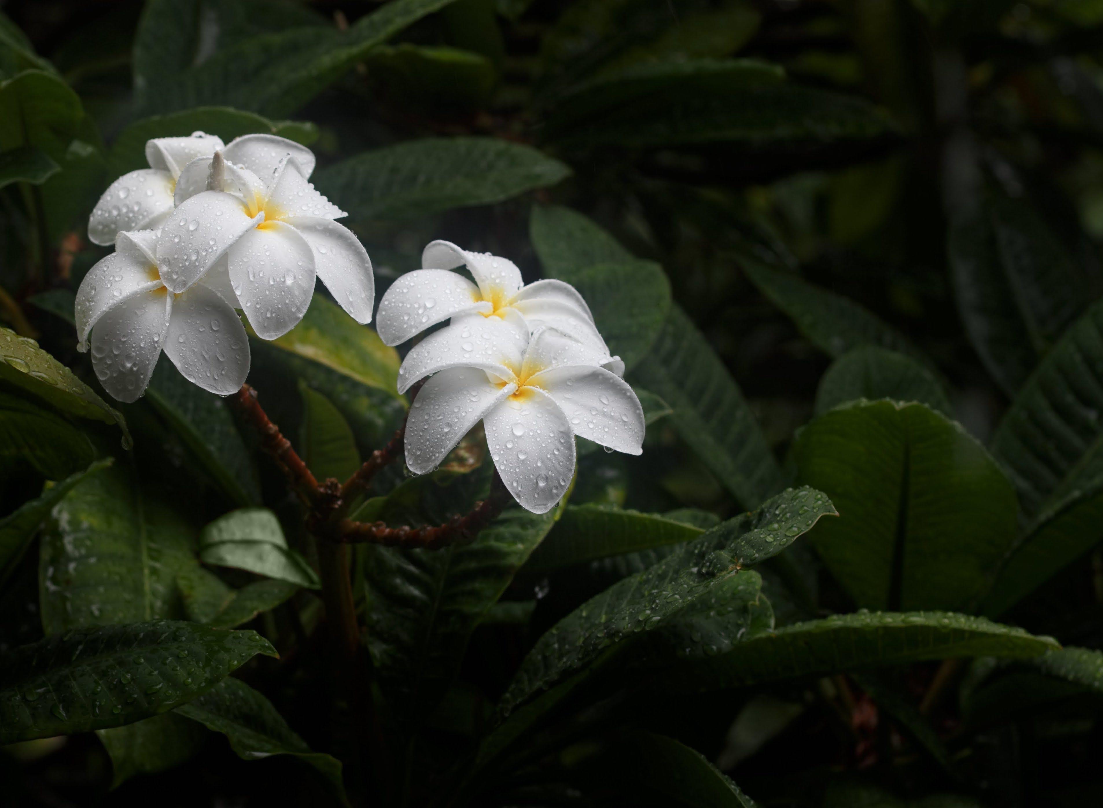 Free stock photo of dark, flower, flowers, fresh