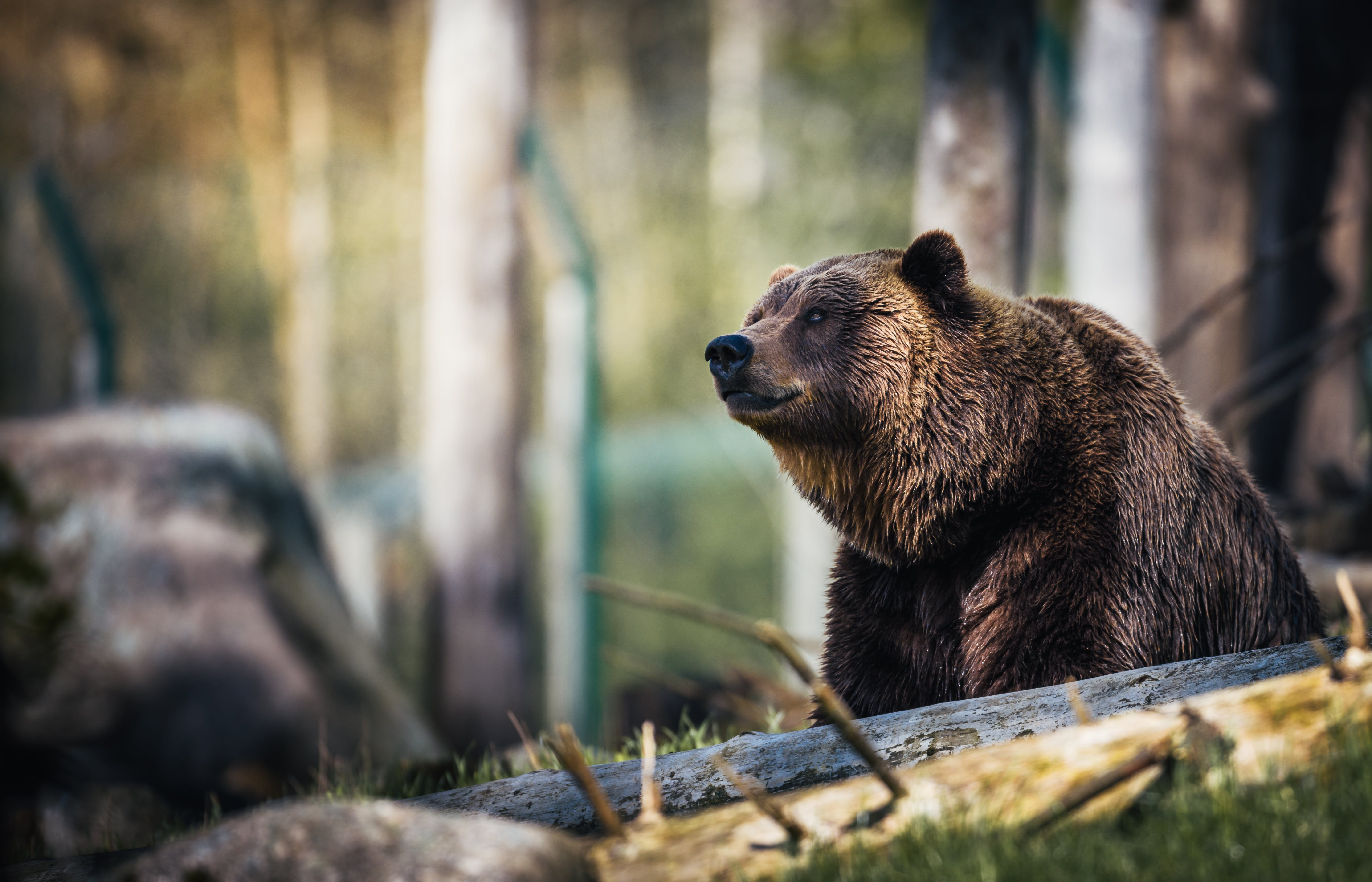 Close-Up Photography of Grizzly Bear