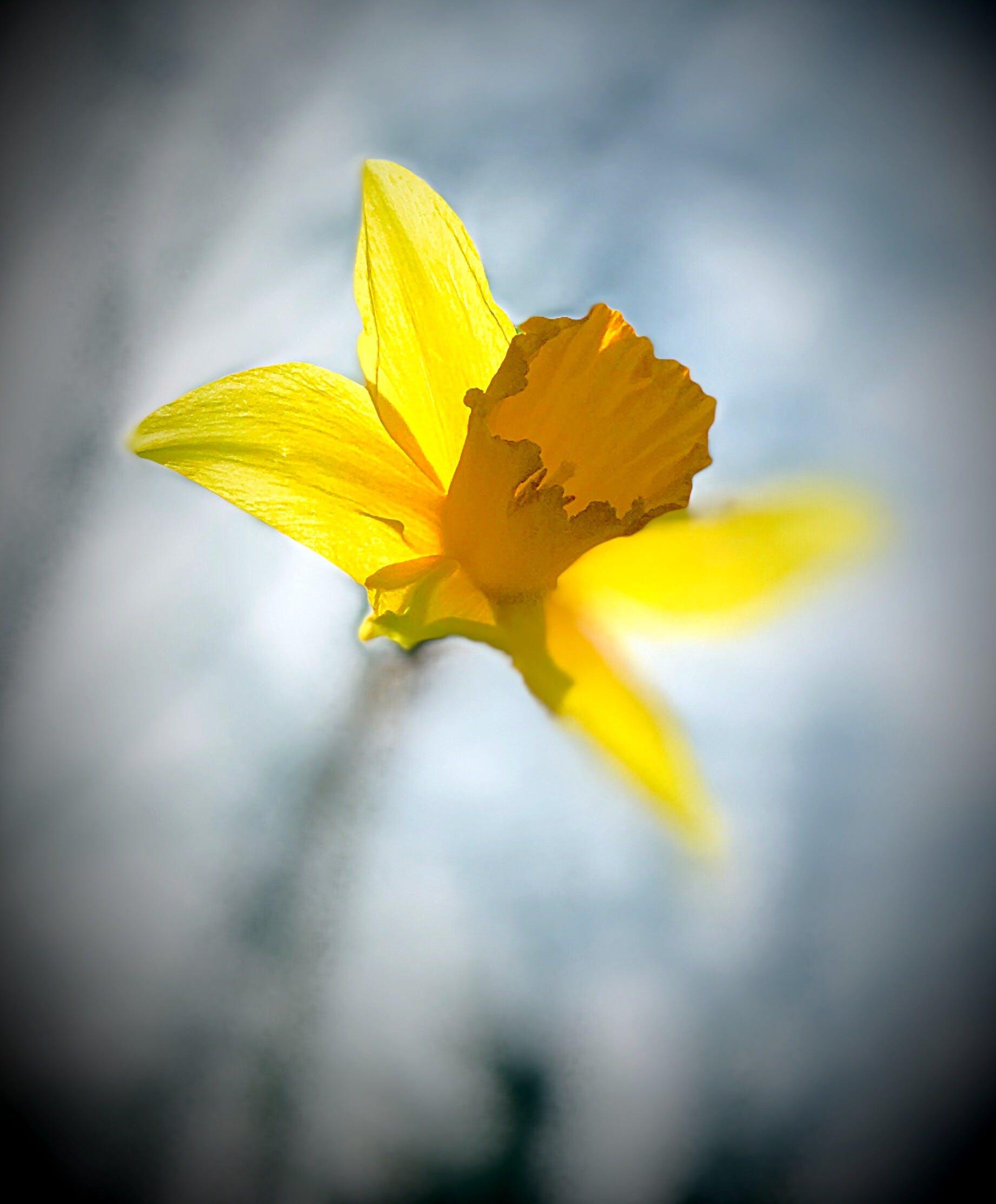 Безкоштовне стокове фото на тему «квітка, Нарцис»