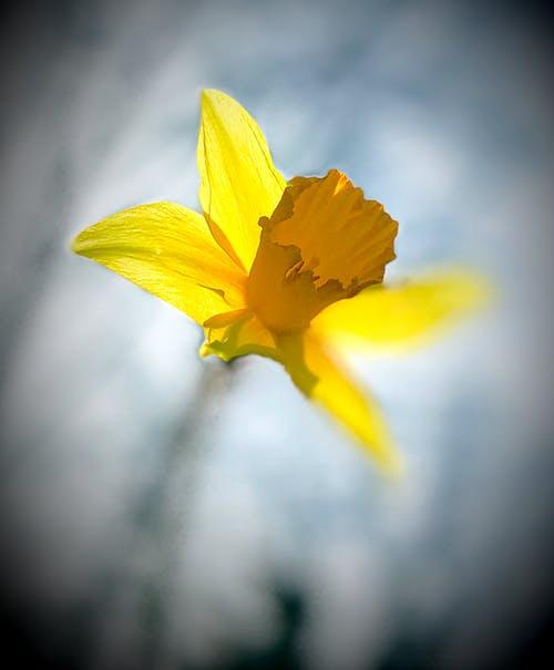 Ilmainen kuvapankkikuva tunnisteilla kukka, narsissi