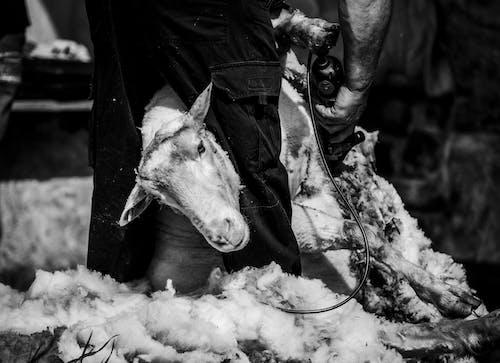 Gratis stockfoto met boerenbedrijf, eenkleurig, geit, het scheren
