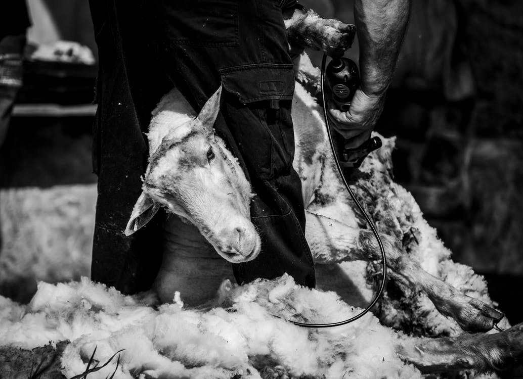 Grayscale Photo of Goat