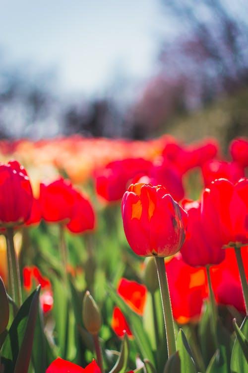 Imagine de stoc gratuită din câmp, cer albastru, flori