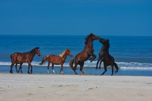 Free stock photo of obx, outter banks, wild horse, wild horses