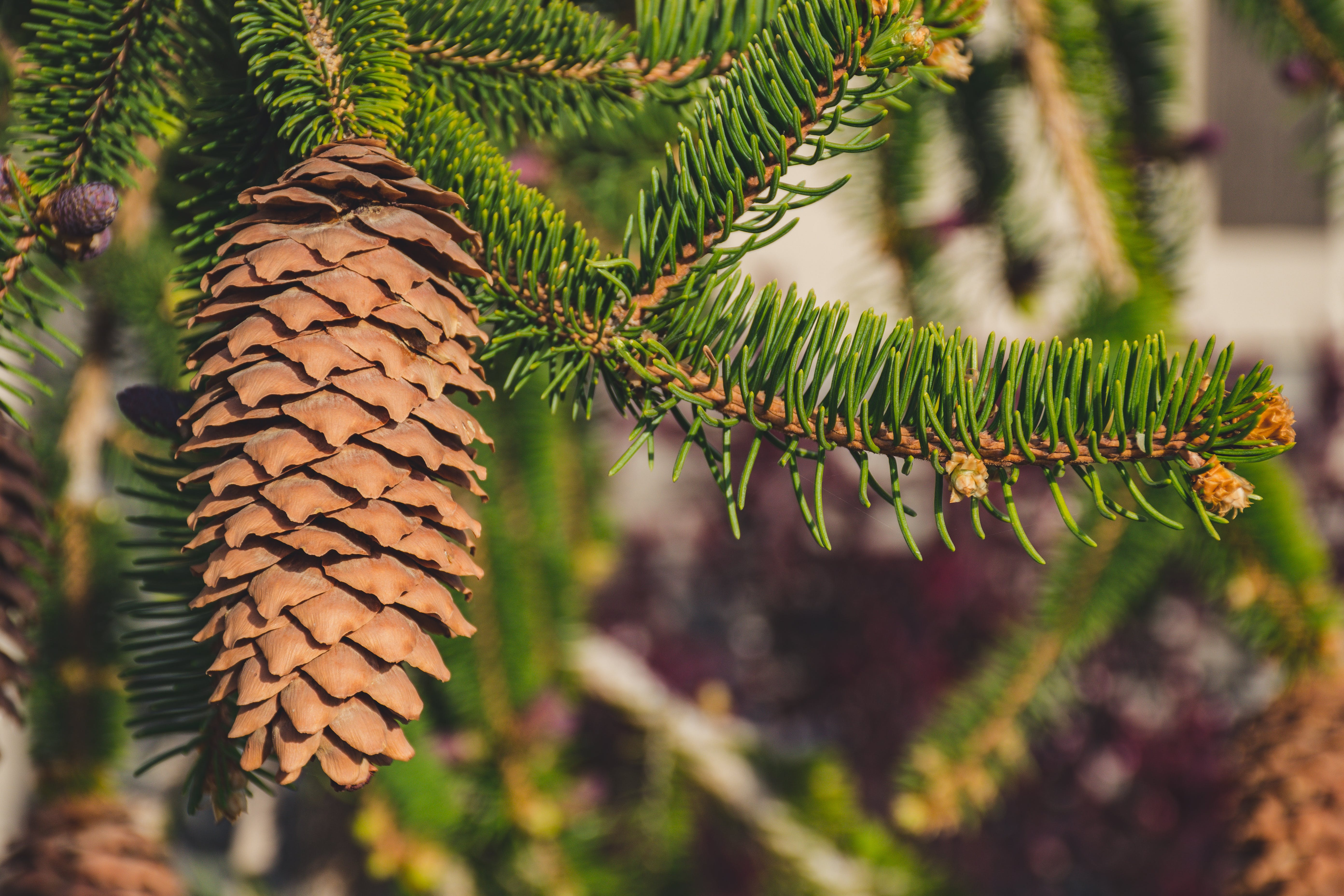 Shallow Focus Photography of Brown Pine Cone