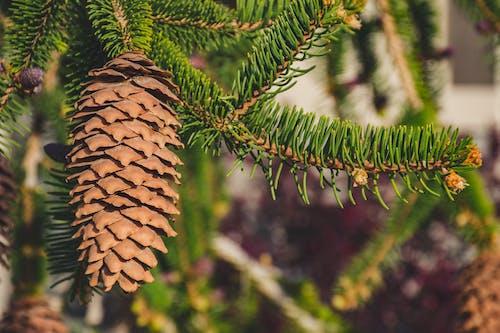 Základová fotografie zdarma na téma borová šiška, dřevo, hloubka ostrosti, jedlová šiška