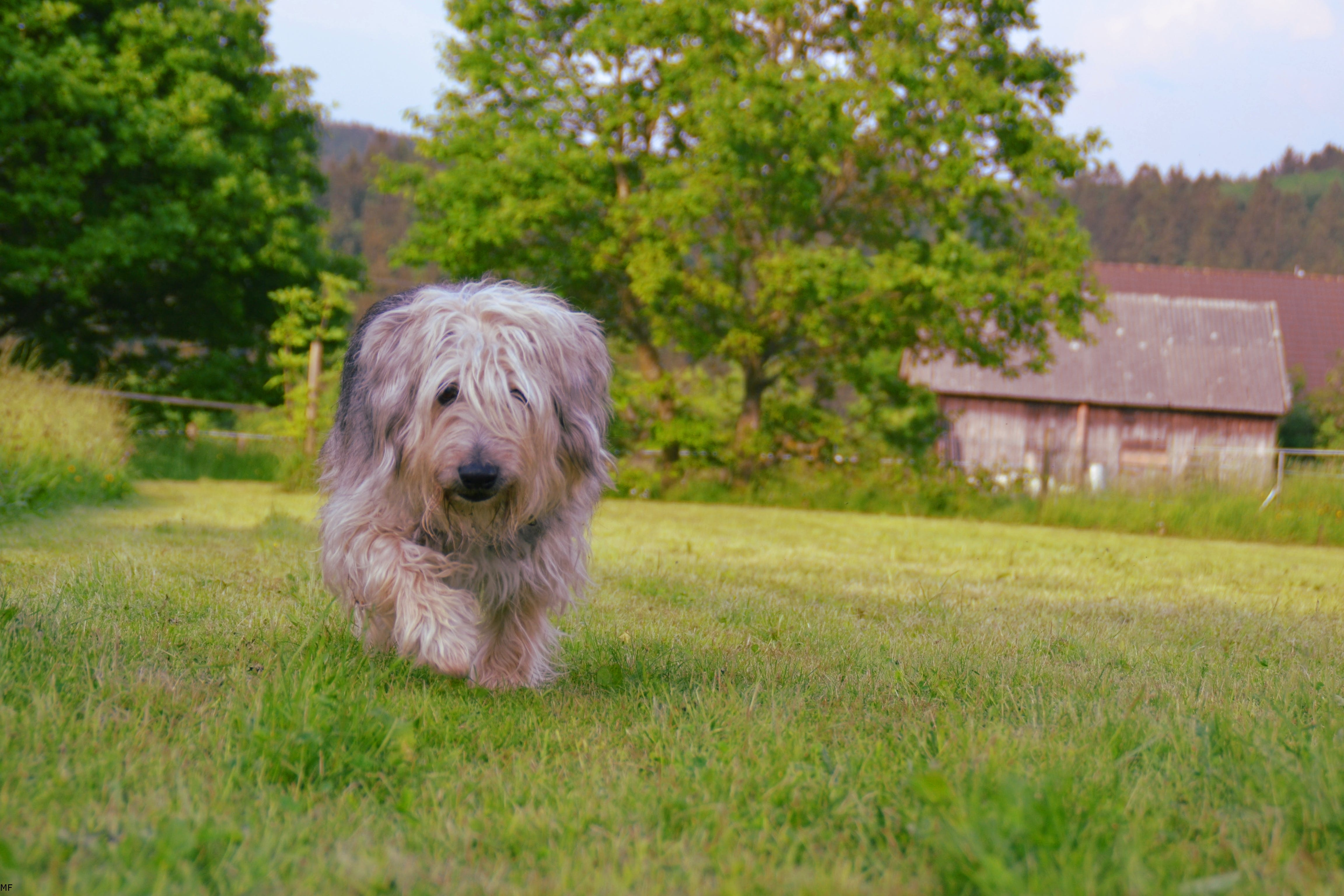 Brown Gray and White Hairy Medium Size Dog Walking on Green Grass Field during Daytime