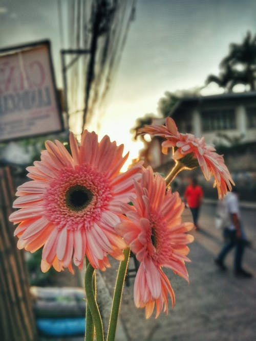 Free stock photo of beautiful flowers, flower, gerbera, street