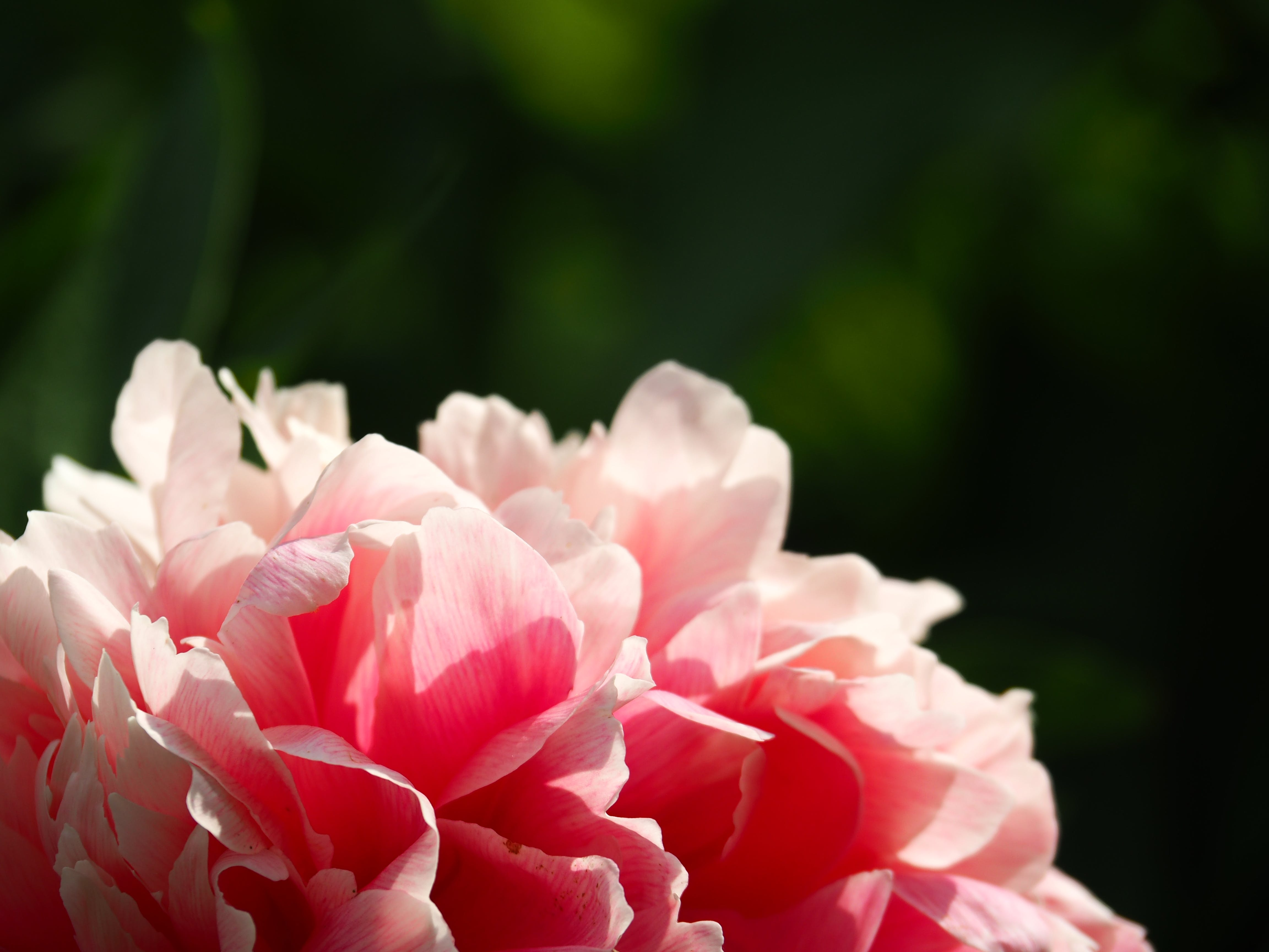 Pink Clustered Flower in Macro Focus Photography