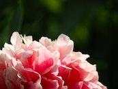 nature, petals, plant