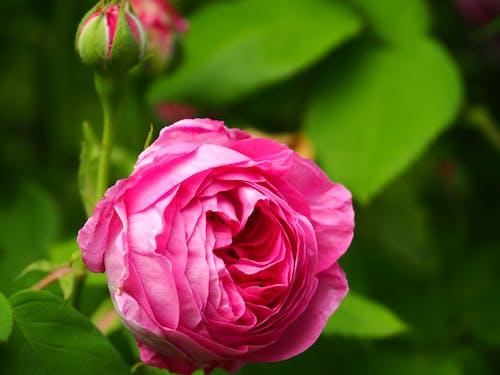 Gratis lagerfoto af blomster, close-up, flora, knopt
