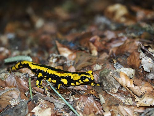 Black and Yellow Lizard