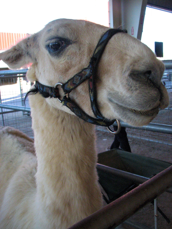 Free stock photo of llama