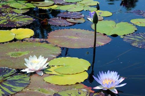 Δωρεάν στοκ φωτογραφιών με λιμνούλα, λουλούδια