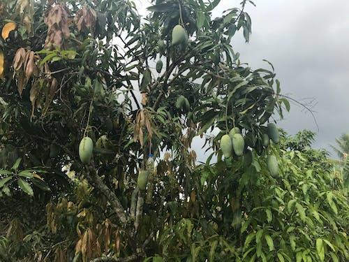 Imagine de stoc gratuită din fructe, fructe asiatice, fructe de mango