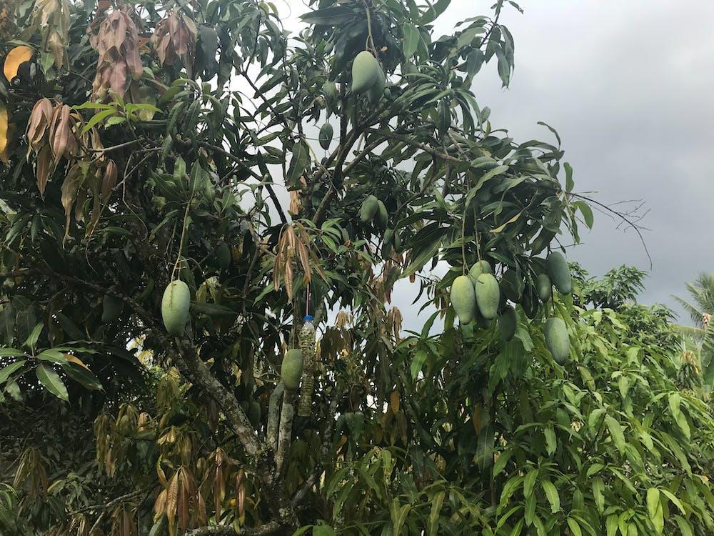 과일, 녹색, 마귀 나무의 무료 스톡 사진