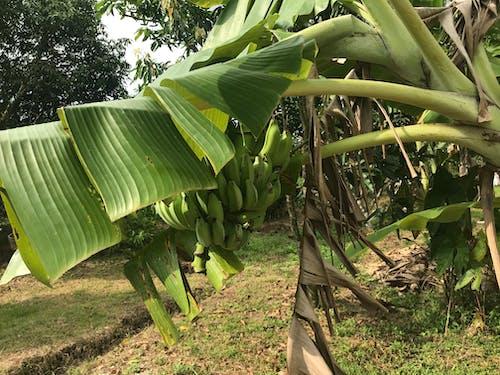 Free stock photo of banana, banana leaf, banana tree, bananas