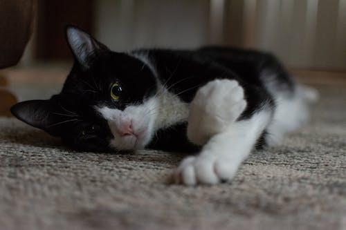 Безкоштовне стокове фото на тему «кішка, кицька, котяча мордочка, мила тварина»