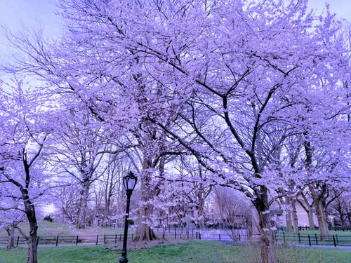 Immagine gratuita di bocciolo, central park, fiore di ciliegio, fiori di ciliegio