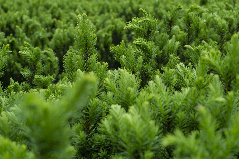 Free stock photo of bush, conifers, flora, green