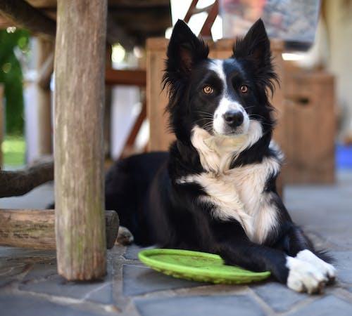Gratis lagerfoto af border collie, dyr, dyrefotografering, dyreportræt