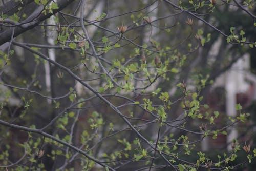 ağaç, tomurcuklar, yeşil içeren Ücretsiz stok fotoğraf