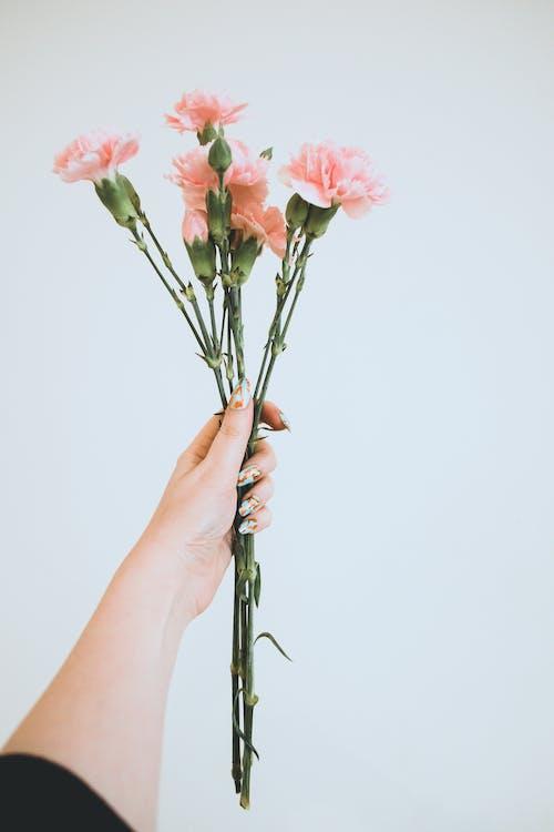 Ingyenes stockfotó kéz, növényvilág, rózsaszín virágok, szirmok témában