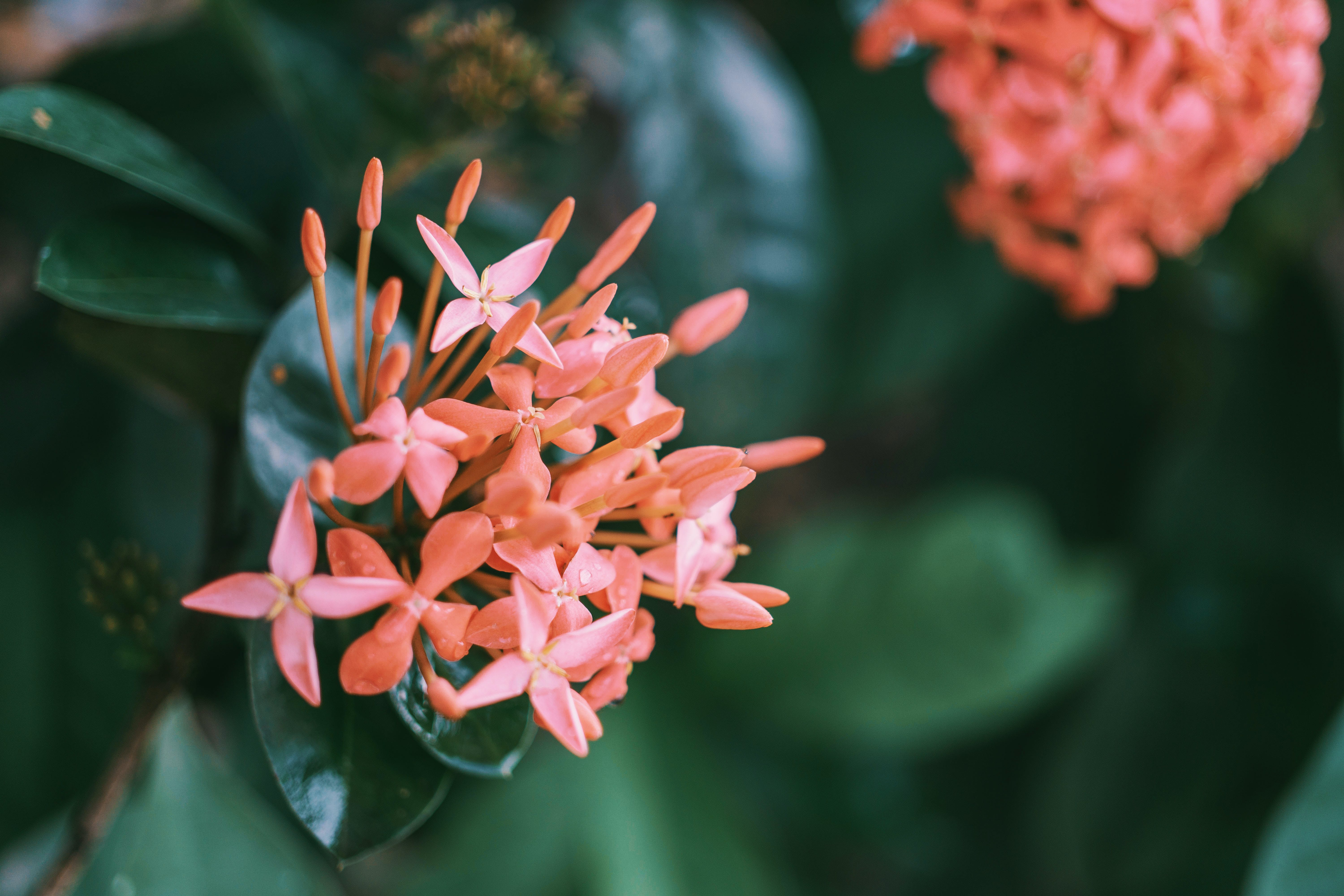 Shallow Focus Photography Of Santan Flowers