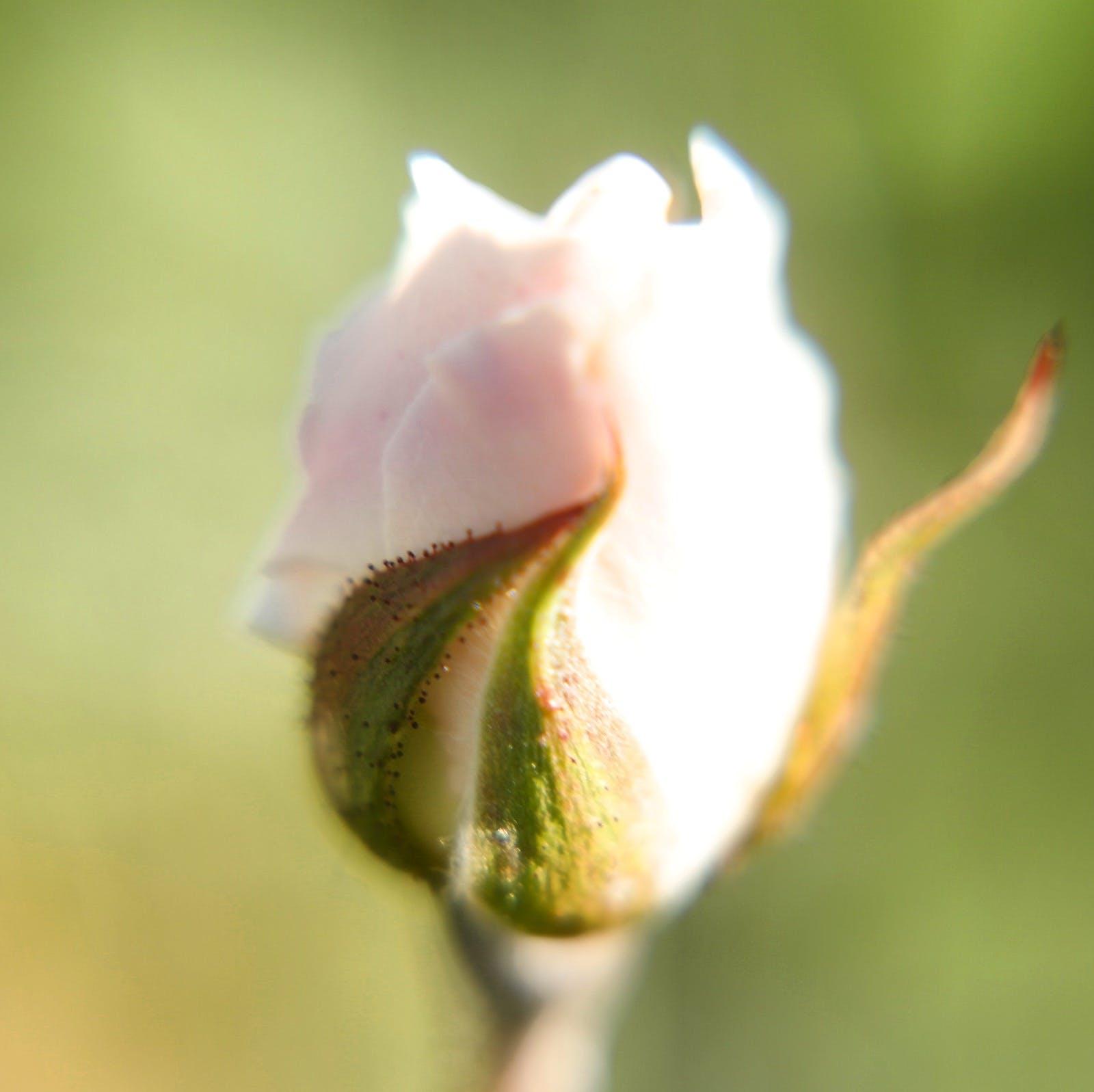 Gratis lagerfoto af lyserød rose