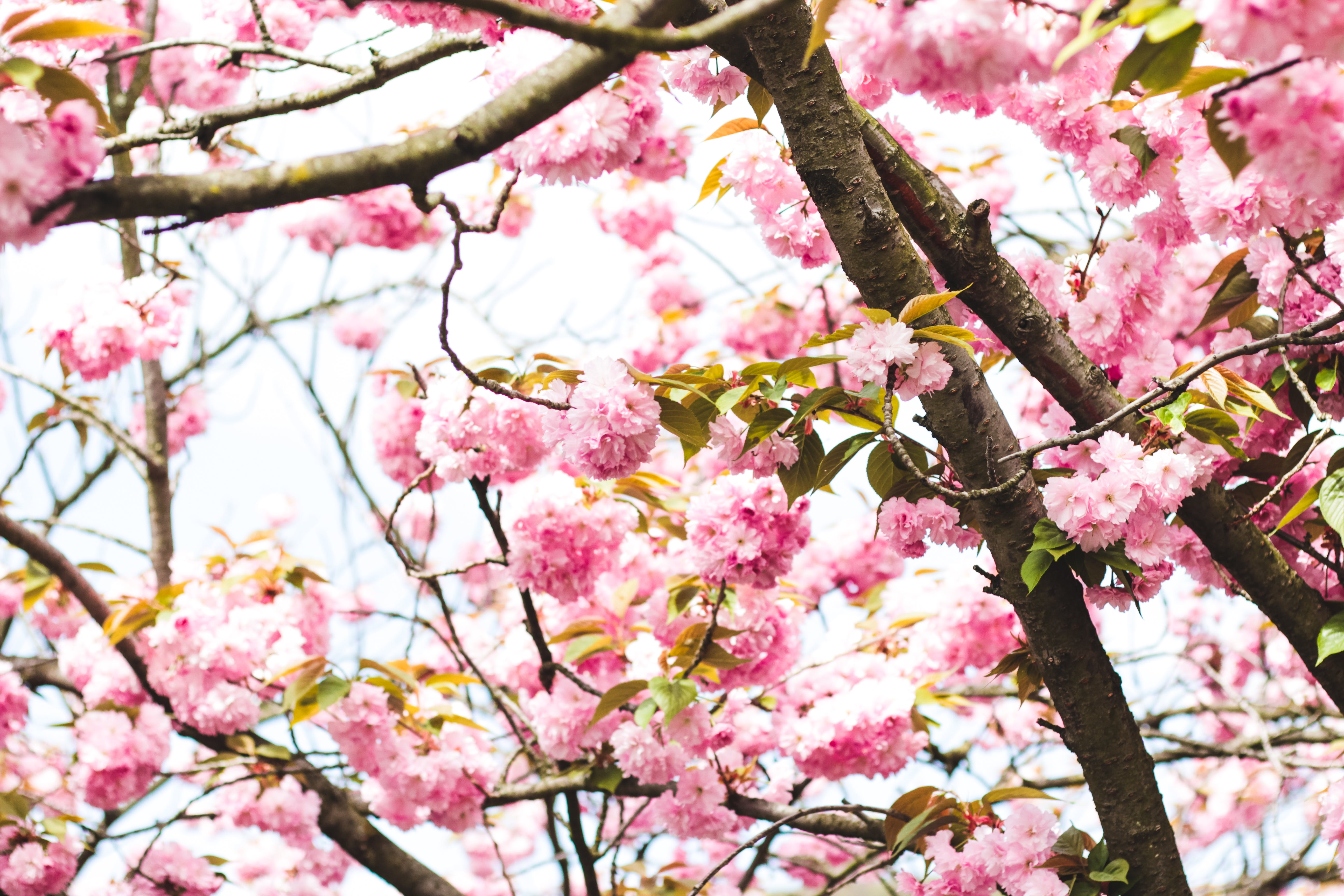 Photography of Pink Flowers on Tree