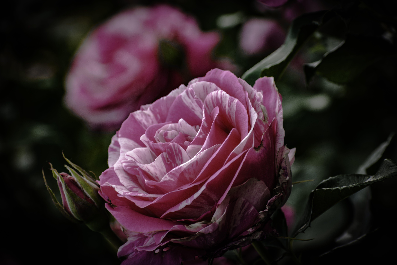 Kostenloses Stock Foto zu pinke blumen, rose, schöne blumen