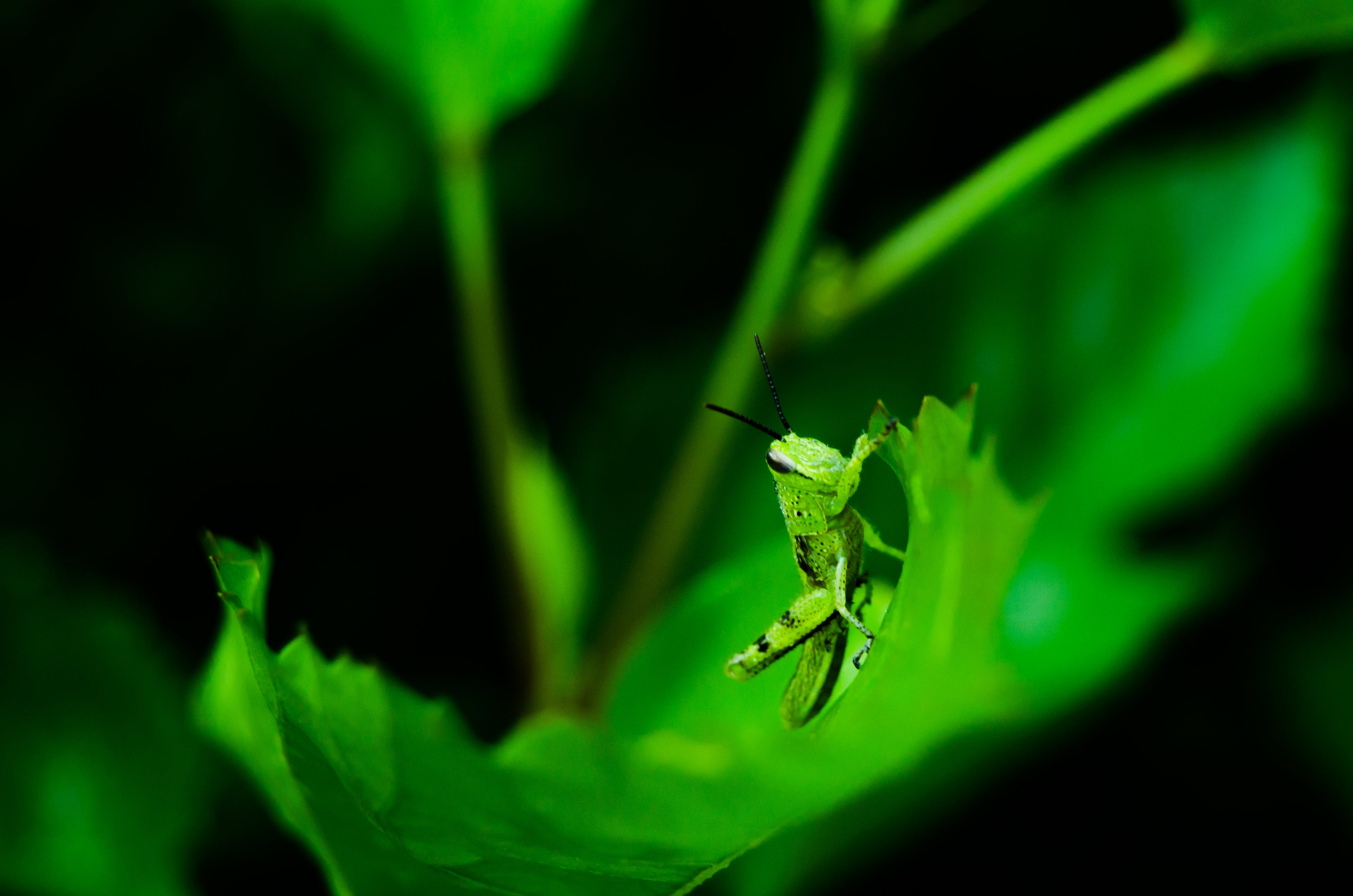 Free stock photo of grasshopper, green leaf, leaves