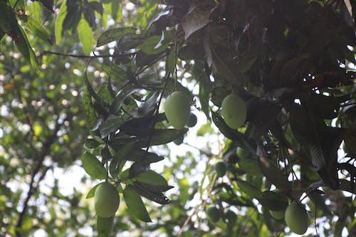 Foto d'estoc gratuïta de arbre de mango, estiu, fruita fresca, mango