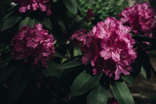 Darmowe zdjęcie z galerii z flora, kwiat, kwiaty, piwonia