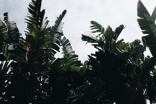 Darmowe zdjęcie z galerii z bananowce, liście bananowca, roślina