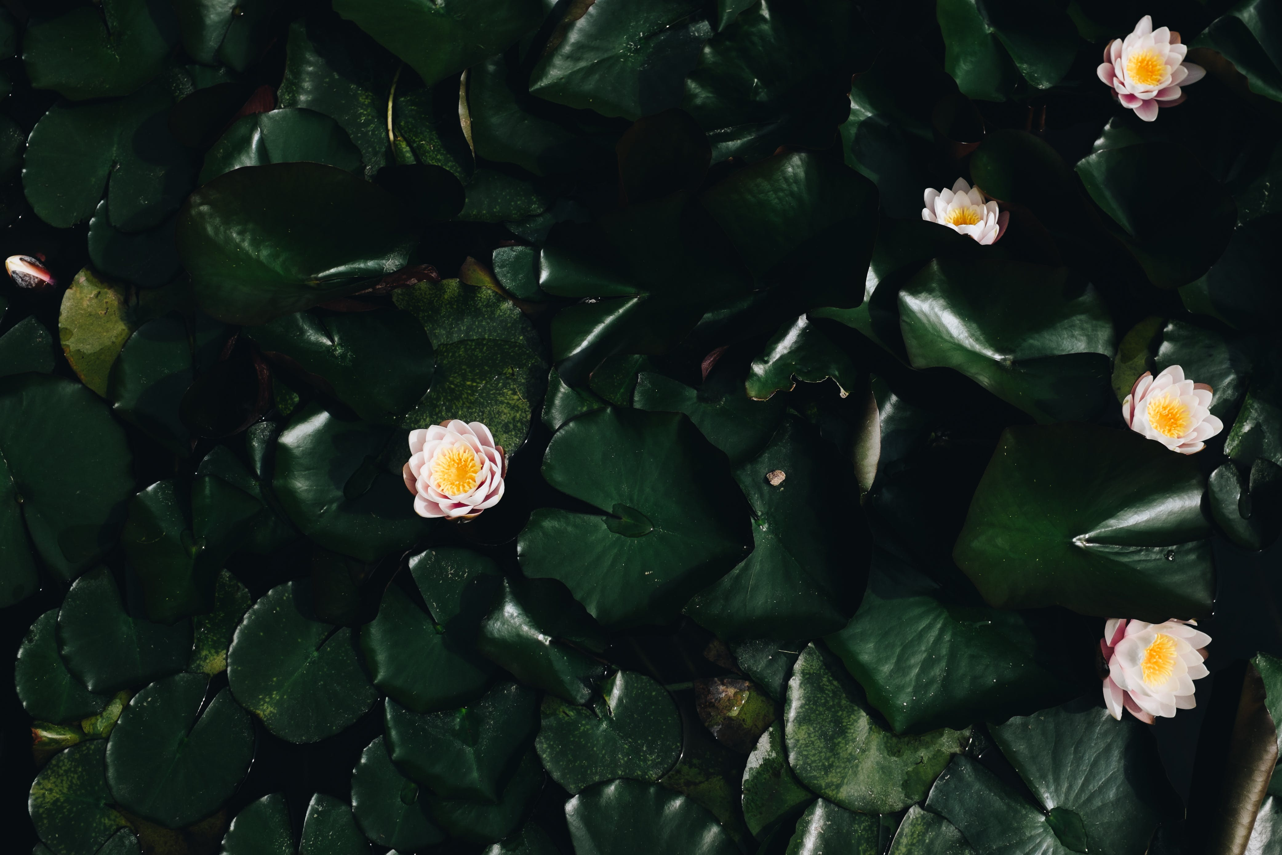 Free stock photo of flowers, petals, plant, pond