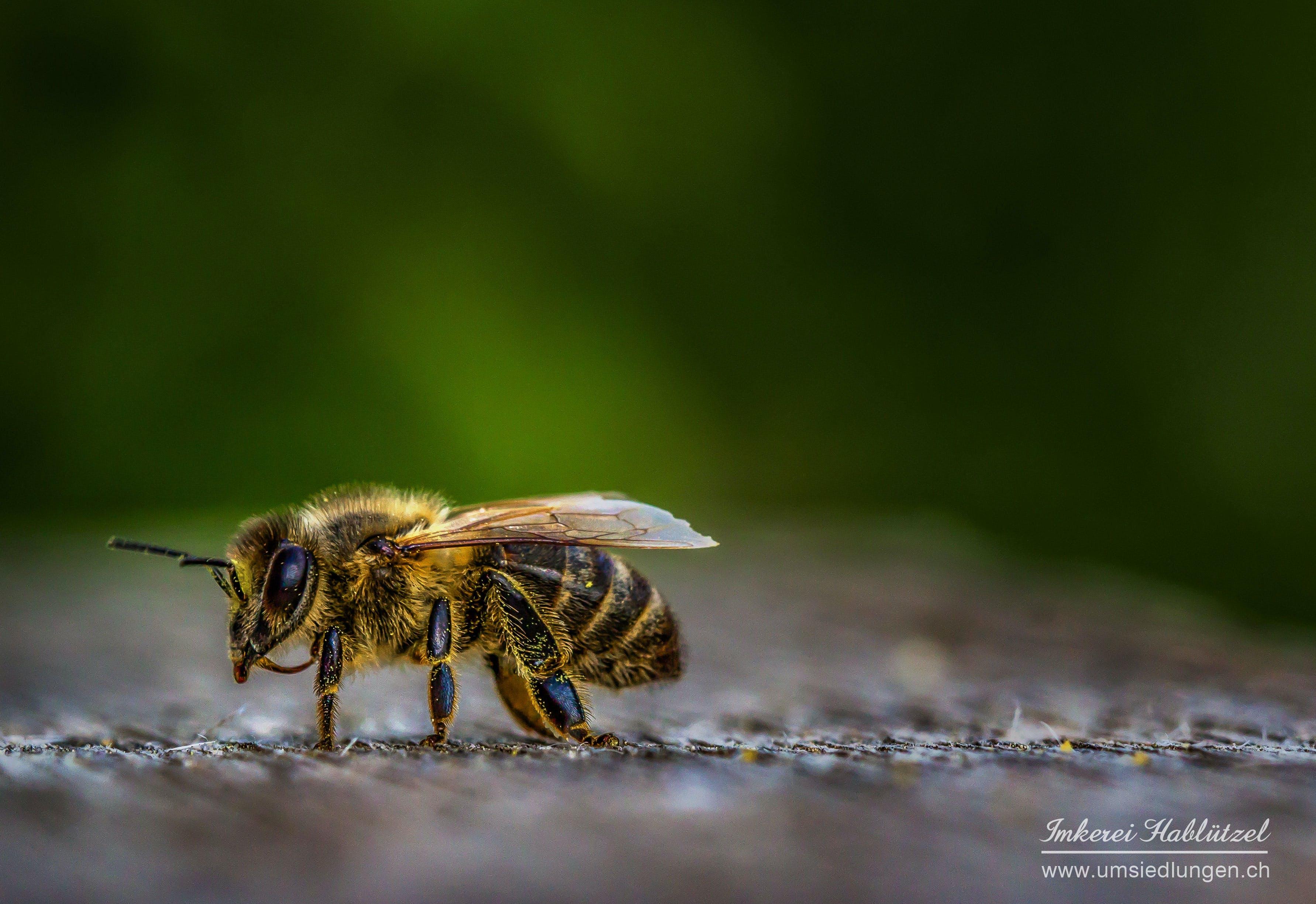 Ảnh lưu trữ miễn phí về ảnh macro, con ong, côn trùng, nhiếp ảnh vĩ mô