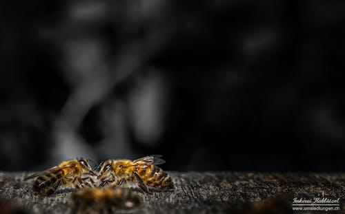 Free stock photo of bee, bees, honey, honey bee