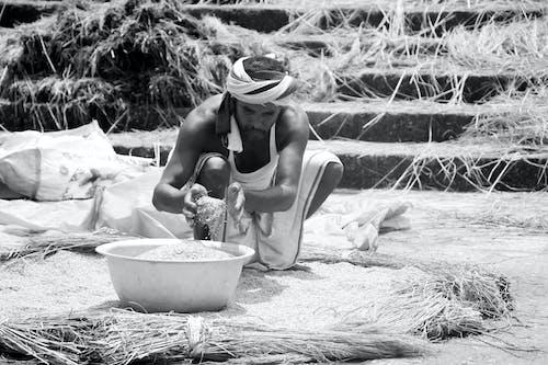 Foto d'estoc gratuïta de Agricultura, arròs, collita, menjar