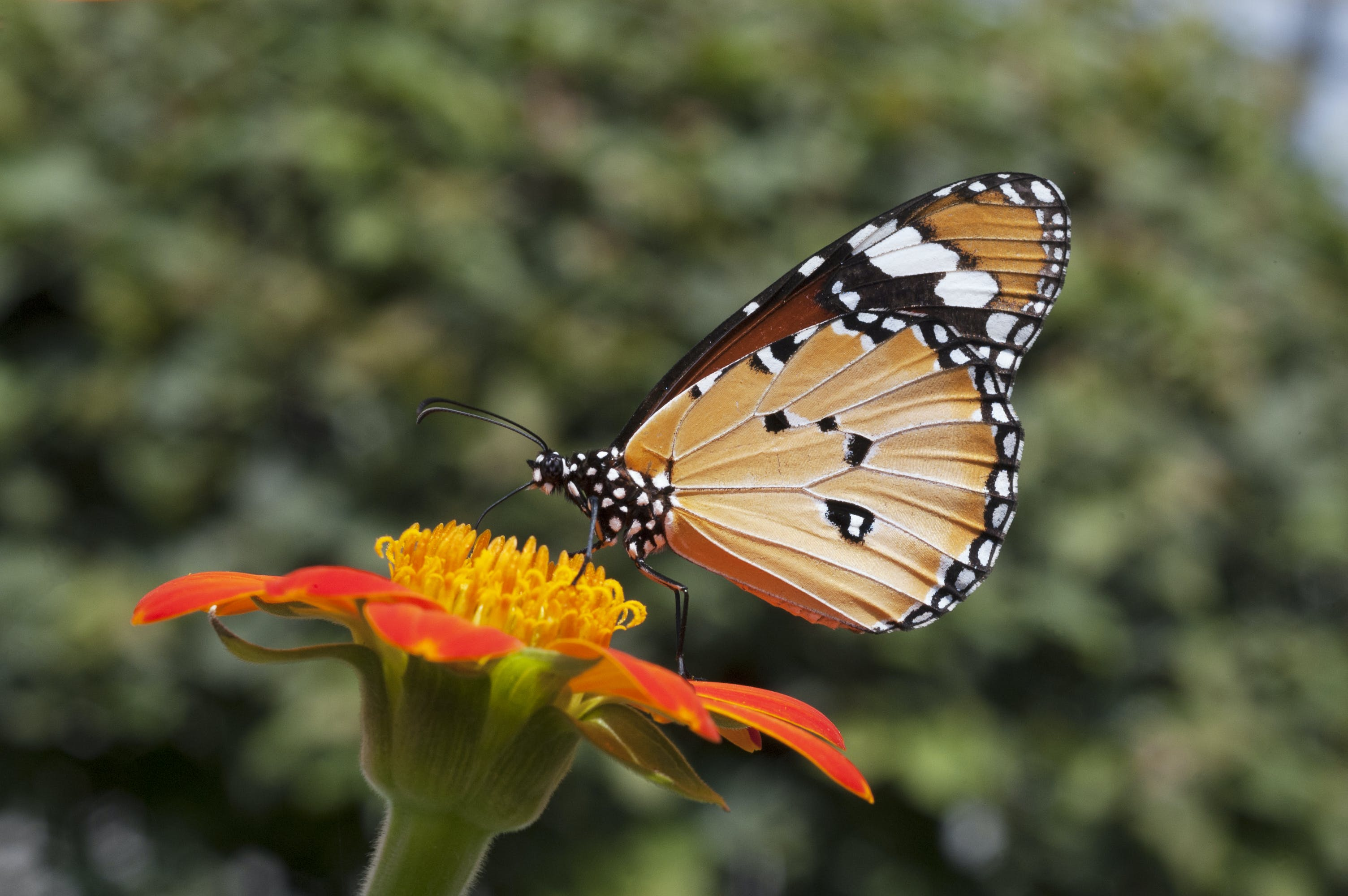 Free stock photo of Monarch Butterfly on a Tithonia Flower
